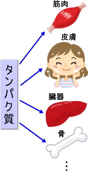タンパク質は、筋肉、皮膚、臓器、骨など様々な部位の細胞を作る材料
