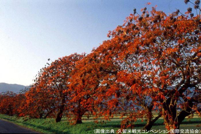 久留米の柳坂曽根の櫨並木の紅葉