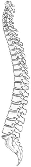 人間の脊椎