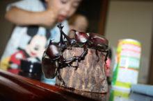 カブトムシを飼育する子供