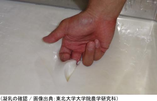 チーズづくりの工程「凝乳の確認」