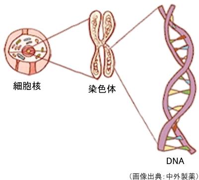 染色体、DNA