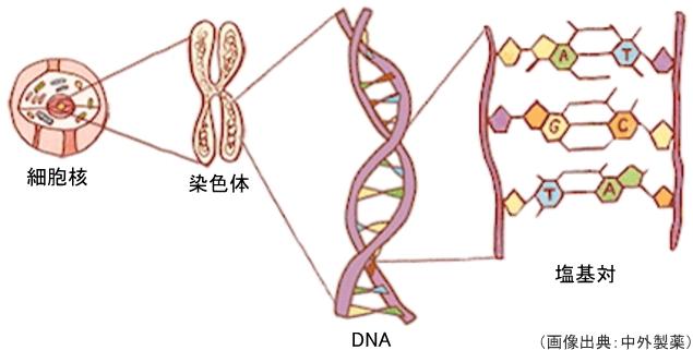 DNAの塩基対