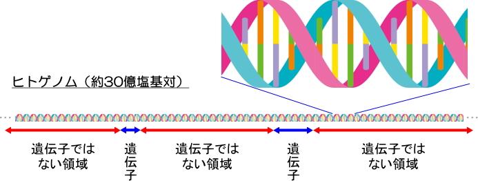 ヒトゲノムにおける遺伝子の領域