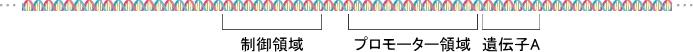 遺伝子、プロモーター領域、制御領域